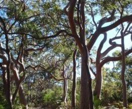 Redgum trail