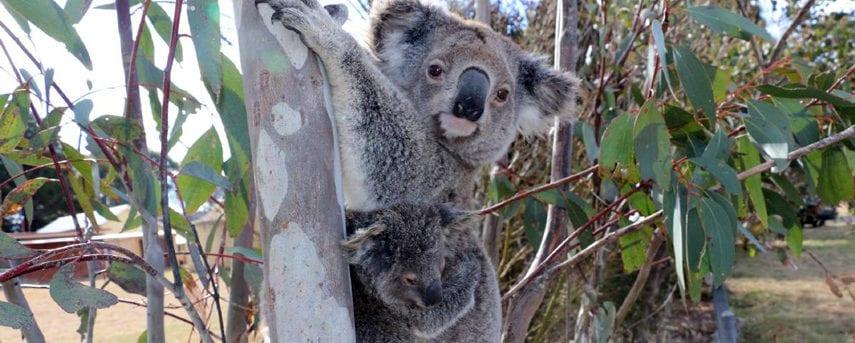 Koala Path