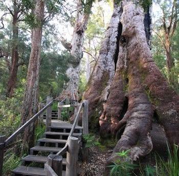 Tingle Tree Walk