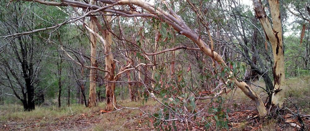 Ripleys Track Koala Bushland Coordinated Conservation Area