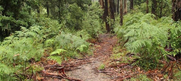 Goodenia Rainforest walking track Trail Hiking Australia
