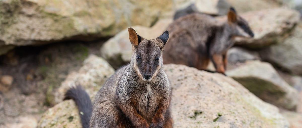 brush-tailed-rock-wallaby--trail-hiking-australia