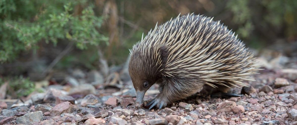 echidna-trail-hiking-australia